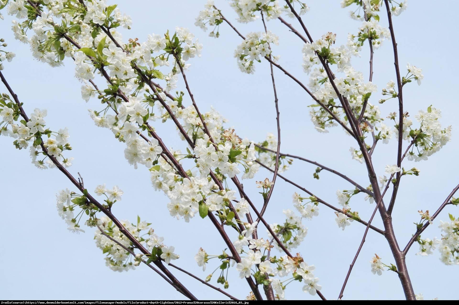 Wiśnia Kelleris - Prunus Kelleris