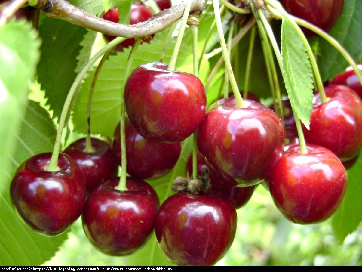 Wiśnia Łutówka - Prunus