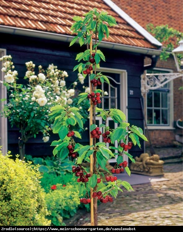 Czereśnia kolumnowa Queen Marry - SUPER SŁODKIE I DUŻE OWOCE - Prunus avium Queen Marry