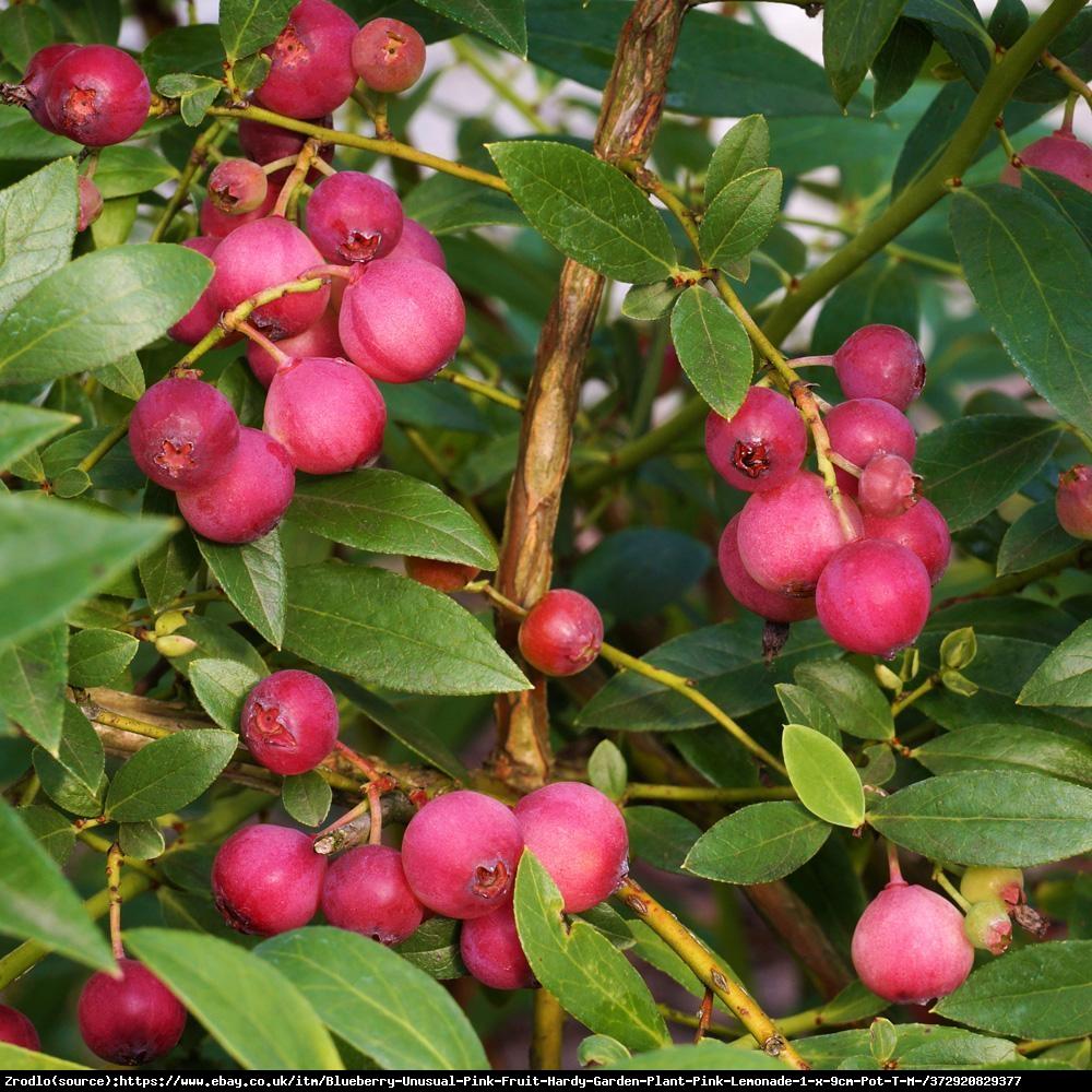 Borówka Pink Lemonade - UNIKAT, RÓŻÓWE OWOCE, DUŻE sadzonki 5-letnie - Vacinium Pink Lemonade