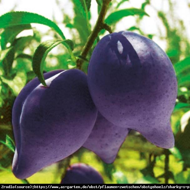 Śliwki REKINKI - 'Sharky's Plum®' Black - UNIKAT, bardzo aromatyczne owoce - Prunus sp.