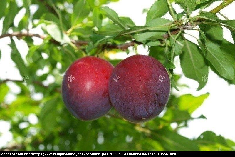 Śliwo-brzoskwinia KUBAŃ - oryginalny smak i wygląd owoców, MROZOODPORNA - Prunus sp.
