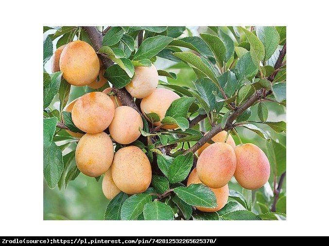 Śliwo- morela Miracose®- kolumnowa, SUPER SŁODKA - Prunus sp.