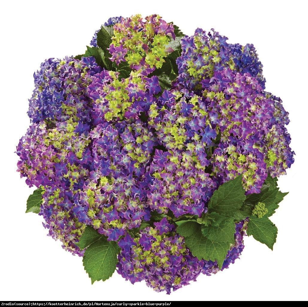 Hortensja ogrodowa Curly Sparkle Blue Purple -UNIKAT, karbowane kwiaty - Hydrangea macrophylla