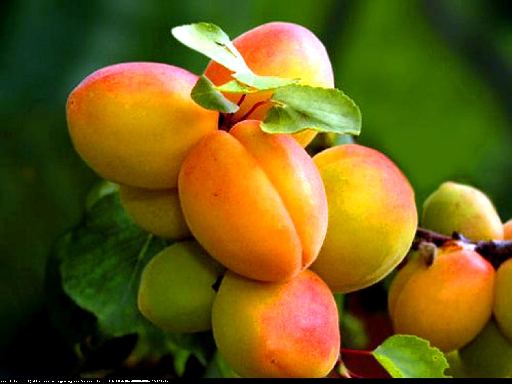 Morela wczesna z morden - Prunus armeniaca