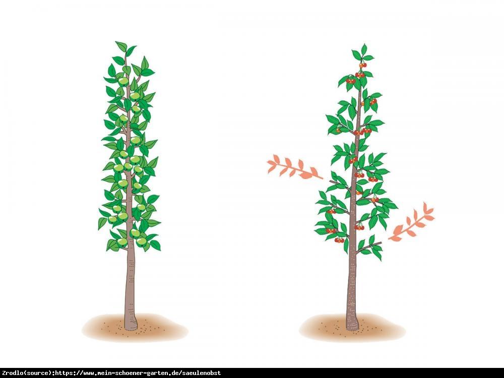 Czereśnia kolumnowa Kordia - NAJWARTOŚCIOWSZA, super smaczna - Prunus avium Kordia