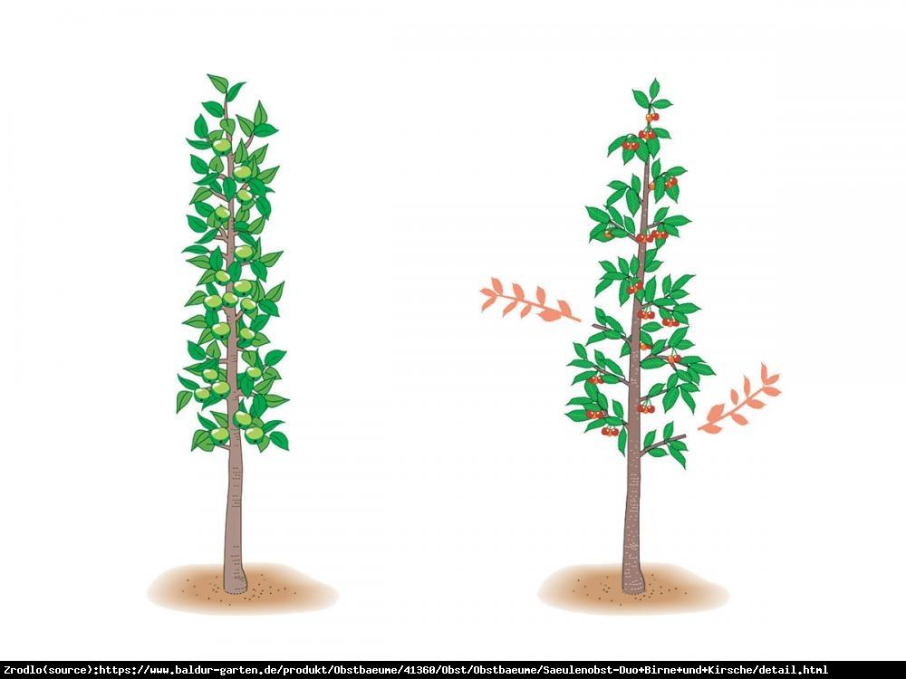 Czereśnia kolumnowa Regina  - CIEMNOCZERWONA, SMACZNA - Prunus avium REGINA