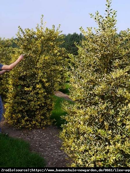 Ostrokrzew kolczasty Golden van Tol - NA ŻYWOPŁOTY, do cienia, ŻEŃSKA - Ilex aquifolium Golden van Tol