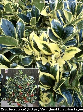 Ostrokrzew kolczasty Silver van Tol - super żywopłot do półcienia i cienia, ŻEŃSKA - Ilex aquifolium Silver van Tol