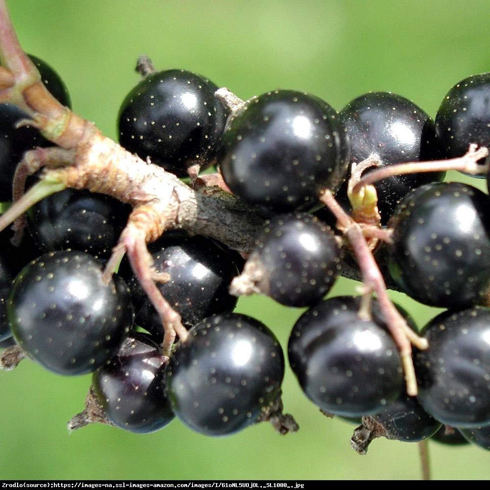 Porzeczka czarna - Ribes nigrum