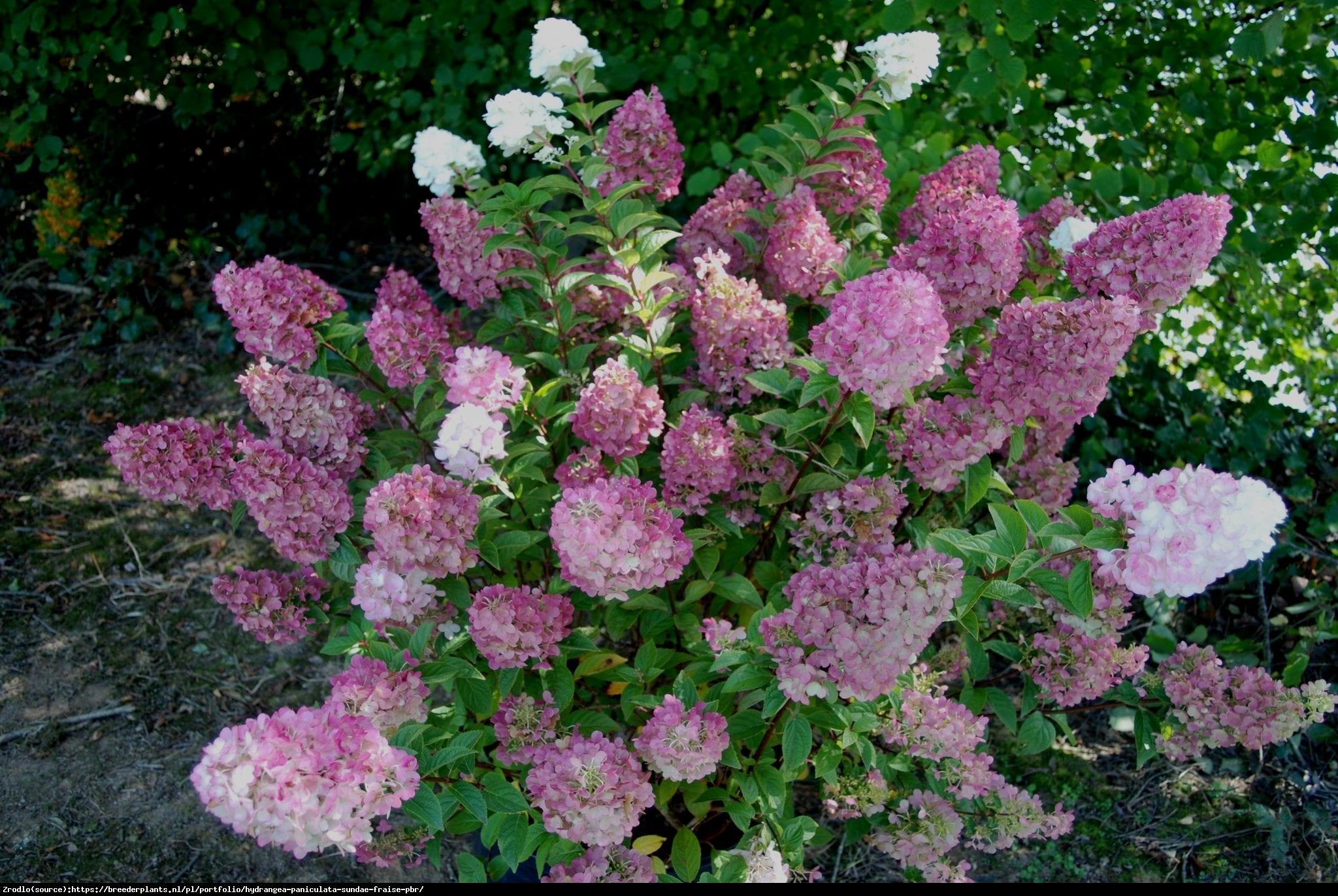 Hortensja bukietowa SUNDAE FRAISE- miniaturowa księżniczka - Hydrangea paniculata Sunday Fraise