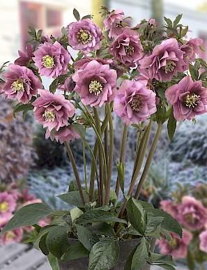 Ciemiernik wschodni King Double Pink - UNIKAT, PEŁNE KWIATY - Helleborus orientalis King Double Pink