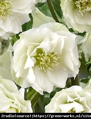 Ciemiernik wschodni King Double White - PEŁNY UNIKAT, czysta biel - Helleborus orientalis King Double White