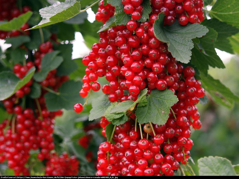 Porzeczka czerwona Rovada pienna - Ribes rubrum Rovada pienna