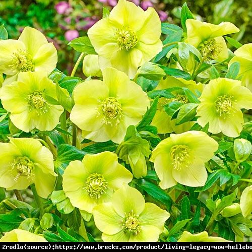 Ciemiernik wschodni King Yellow - ZŁOTY KRÓL - Helleborus orientalis King Yellow