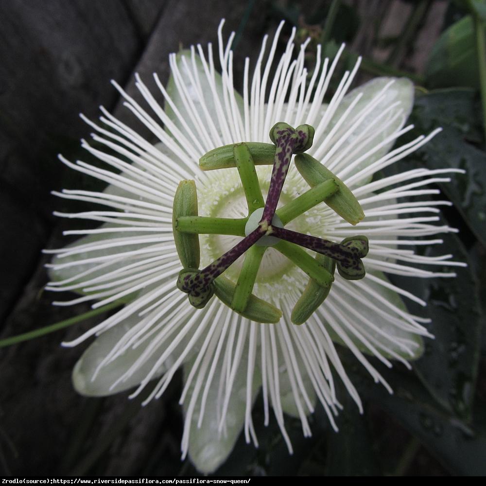 Męczennica Snow Queen - Duże kwiaty, CZYSTA BIEL - Passiflora Snow Queen