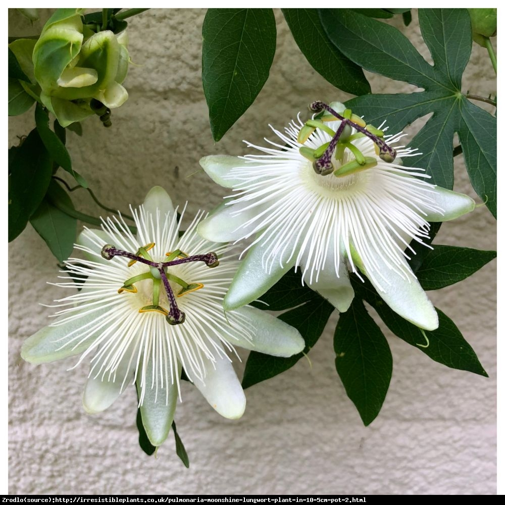 Męczennica Snow Queen - Duże kwiaty, CZYSTA BIEL - Passilora Snow Queen