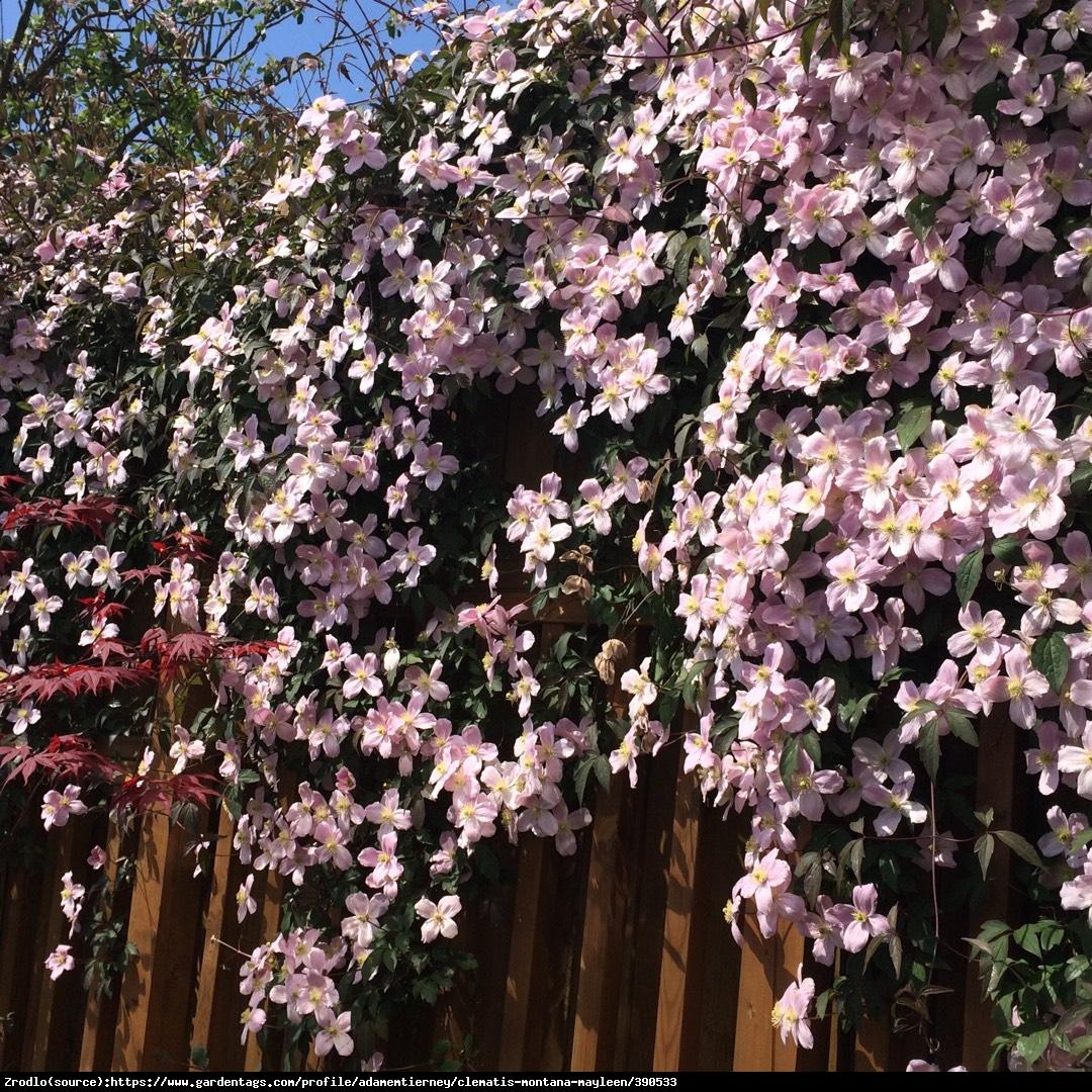 Powojnik górski Mayleen - ściana kwiatów, PACHNIE WANILIĄ - Clematis montana Mayleen