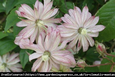 Powojnik górski Marjorie - łososiowe kwiaty, PACHNĄCY - Clematis górski Marjorie