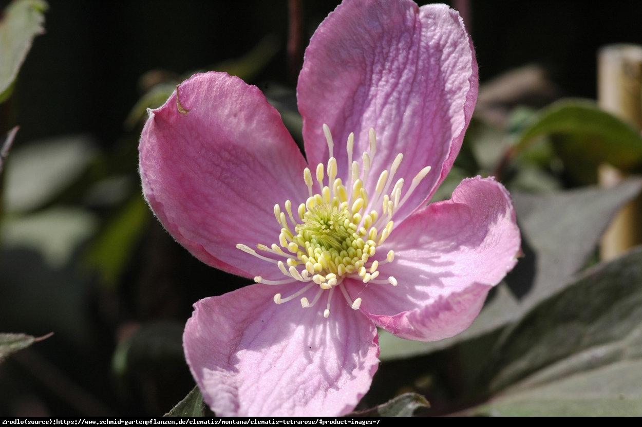 Powojnik górski Tetrarose - DUŻE KWIATY, intensywne kwitnienie - Clematis montana Tetrarose