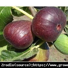 Figowiec Brown Turkey - OBFICIE OWOCUJE, najwytrzymalszy, DUŻY EGZEMPLARZ - Ficus carica Brown Turkey