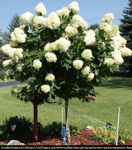 Hortensja bukietowa Limelight - limonkowa piękność NA PNIU!!!                                - Hydrangea paniculata Limelight