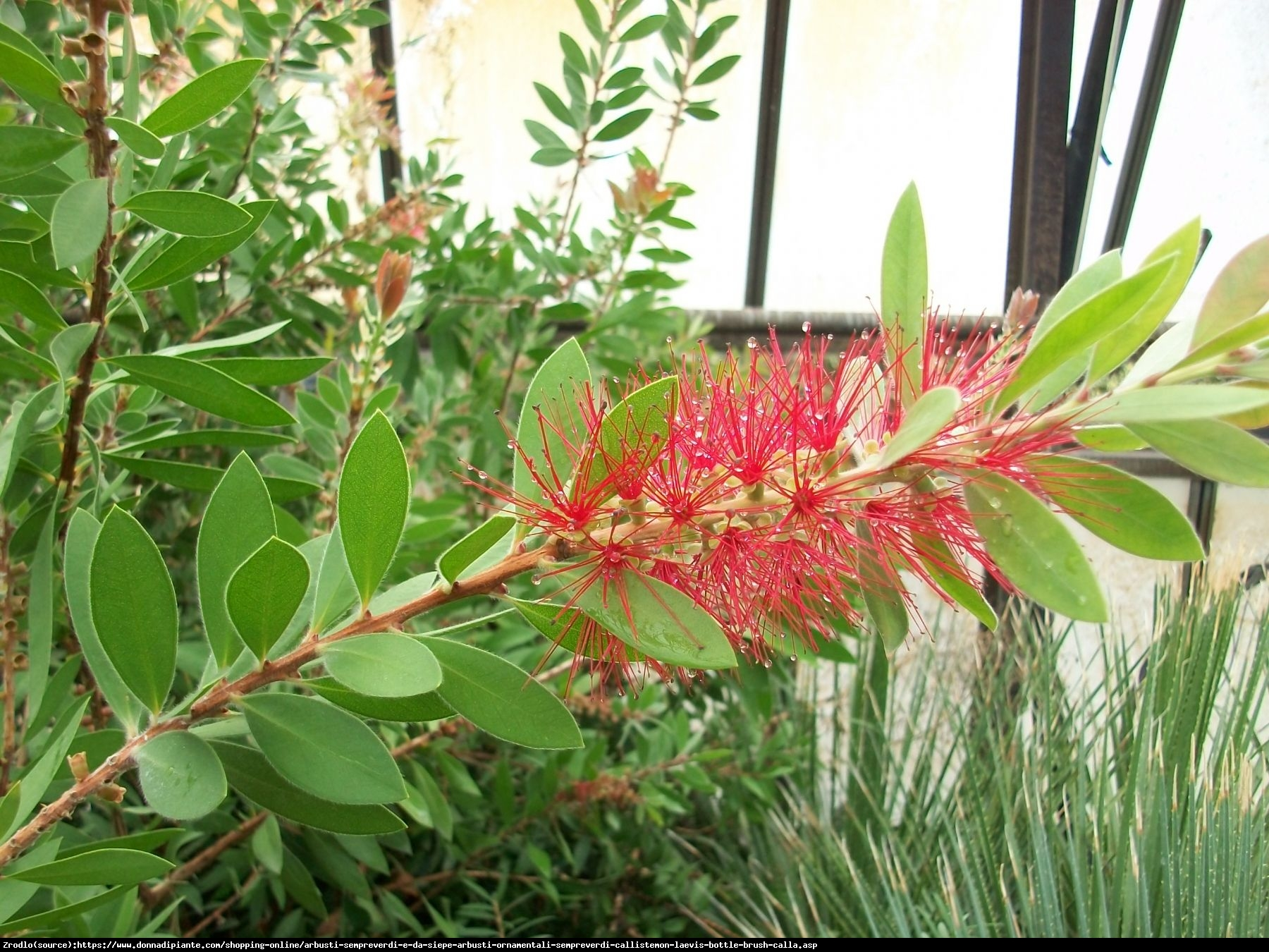 Kuflik leavis callistemon leavis for No maintenance flowering shrubs