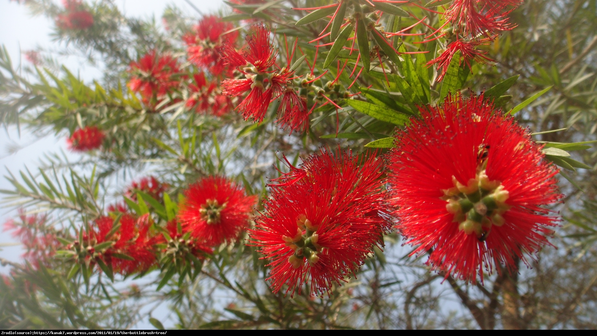 Kuflik Leavis   - Callistemon Leavis