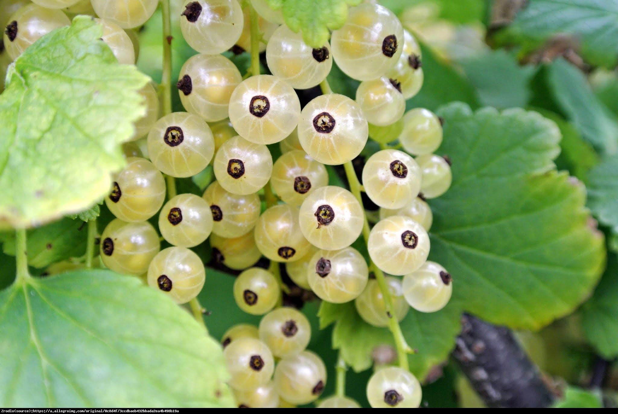 Porzeczka biała - Ribes niveum