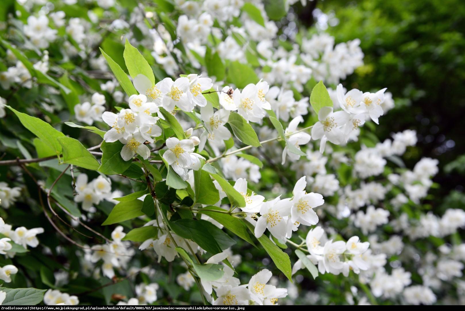 Jaśminowiec Biały Karzeł - Philadelphus Biały Karzeł