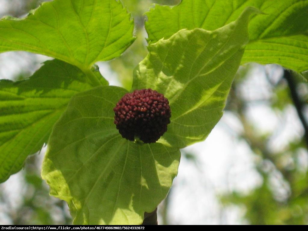 Dawidia chińska odm. Vilmorina -  - Davidia involucrata var. vilmoriniana