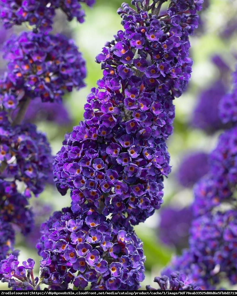 Budleja Dawida  Black Knight  - Buddleja davidii  Black Knight