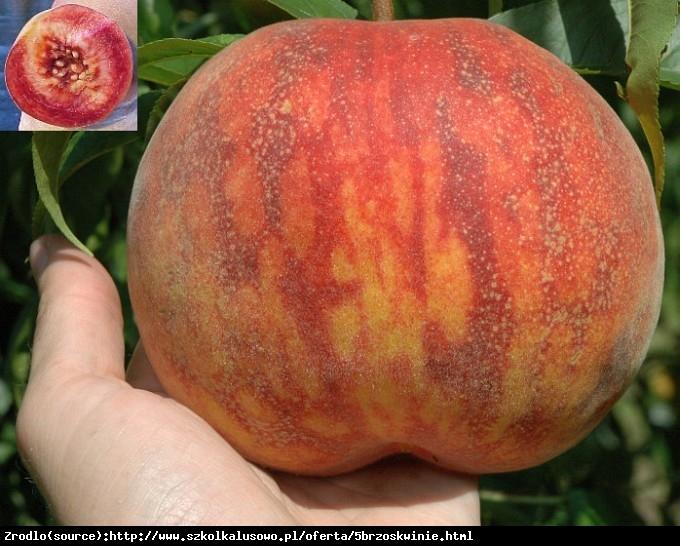 Brzoskwinia Cardinale - GIGANTYCZNY OWOC, ODPORNA - Prunus persica CARDINALE