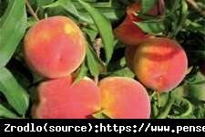Brzoskwinia Cresthaven- AROMATYCZNA i ODPORNA - Prunus persica CRESTHAVEN