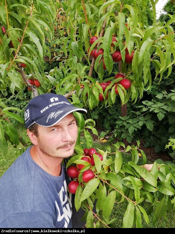 Nektaryna Red Gold - NAJSMACZNIEJSZA, ODPORNA!!! - Prunus persica var. nucipersica RED GOLD