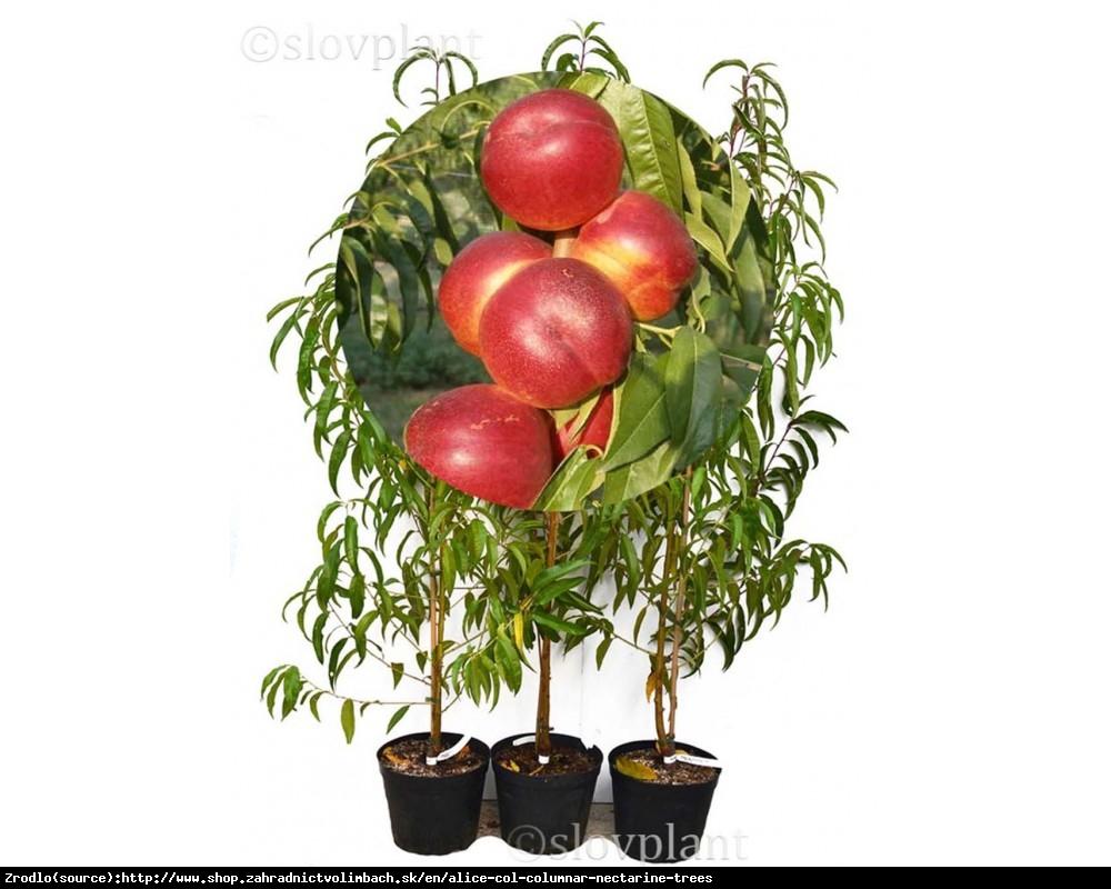 Nektaryna kolumnowa ALICE - idealna na balkony i tarasy!!! - Prunus persica var. nucipersica ALICE