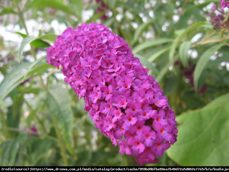 Budleja Dawida  Royal Red  - Buddleia davidii  Royal Red
