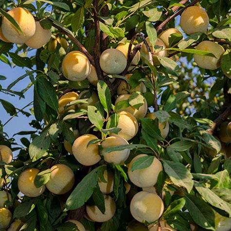 Śliwo-morela  Flavour Queen - OWOCE SŁODKIE JAK MIÓD!!! - Prunus sp. Flavour Queen