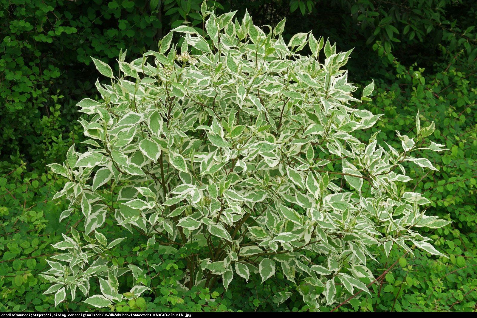 Dereń biały  Elegantissima  - Cornus alba Elegantissima
