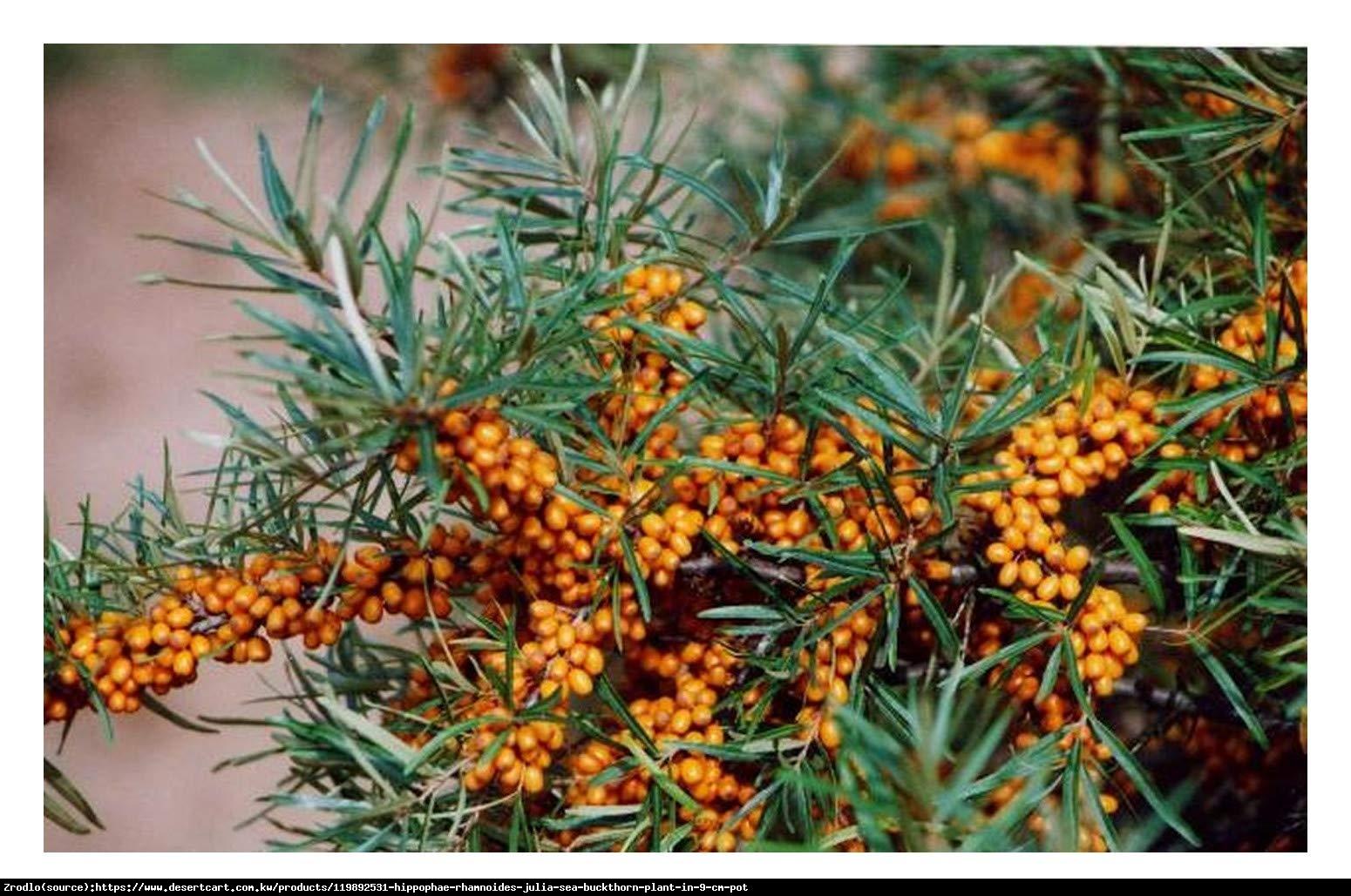 Rokitnik pospolity  Julia - wczesna odmiana - Hippophae rhamnoides  Julia