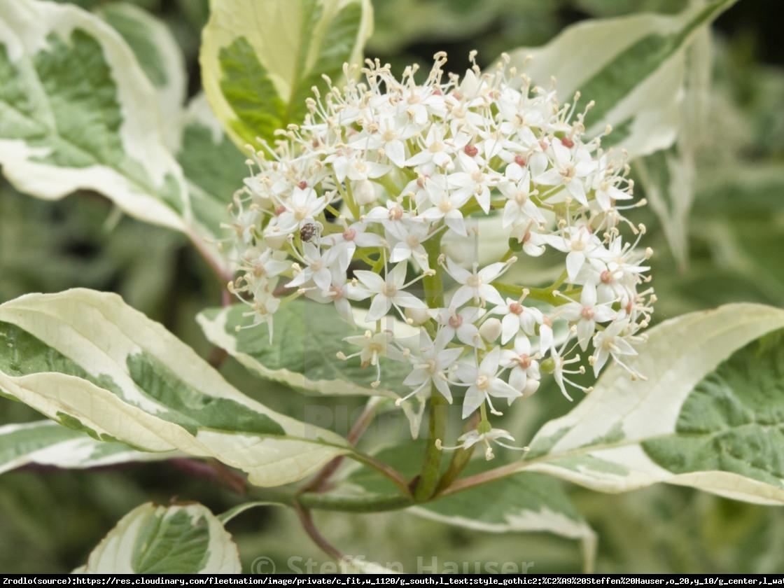 Dereń biały Sibirica Variegata - Cornus alba  Sibirica Variegata