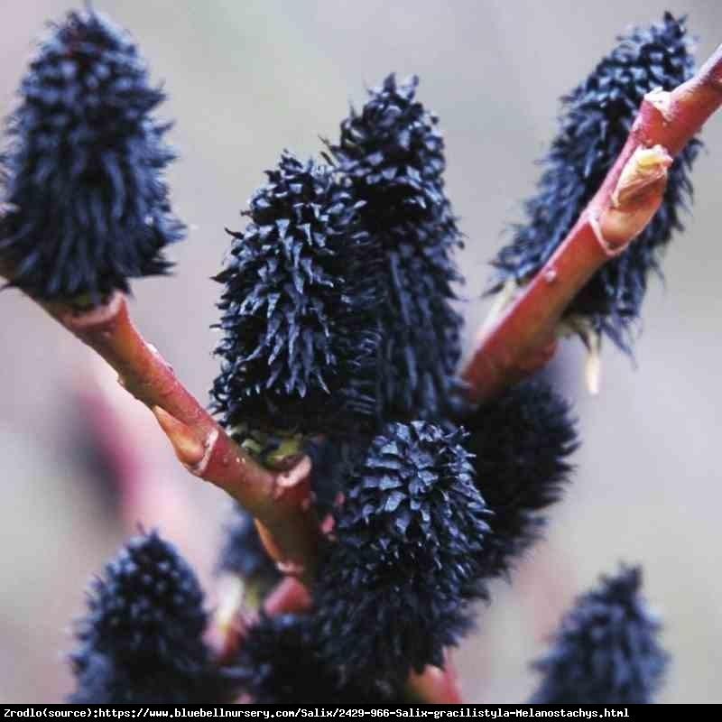 Wierzba smukłoszyjkowa Melanostachys - HIT czarne bazie, NA PNIU!!! - Salix gracilistyla Melanostachys