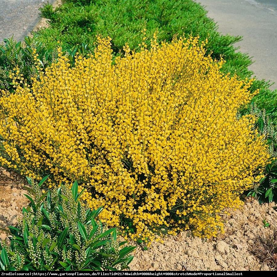 Szczodrzeniec wczesny Allgold - Cytisus pracecox Allgold