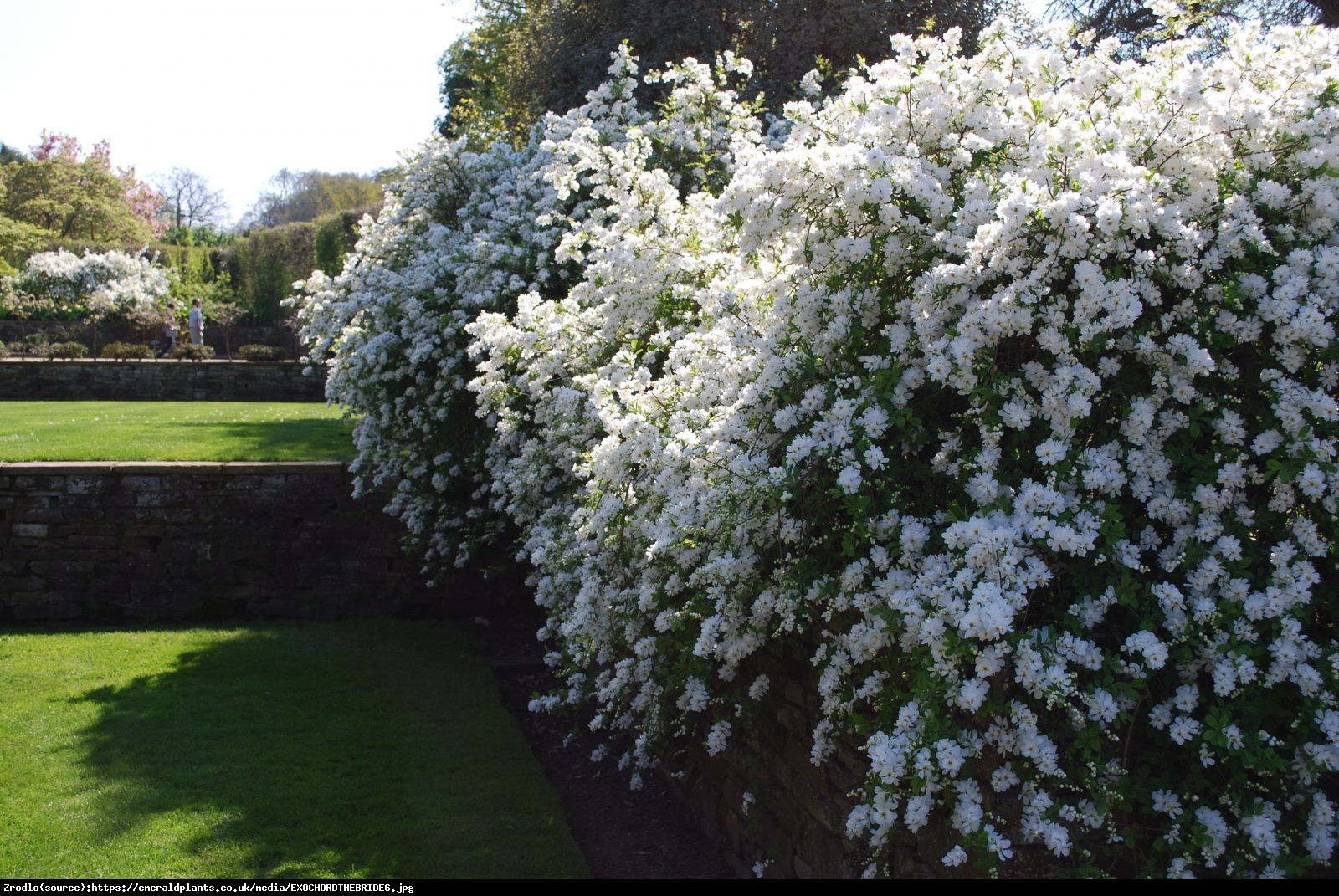 Obiela wielkokwiatowa The Bride - Exochorda  The Bride