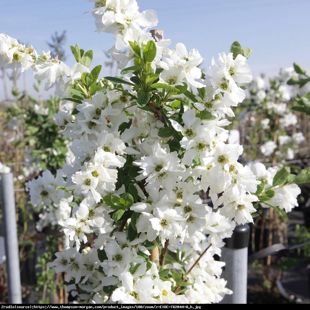 Obiela wielkokwiatowa The Bride - Exochorda  The Bride