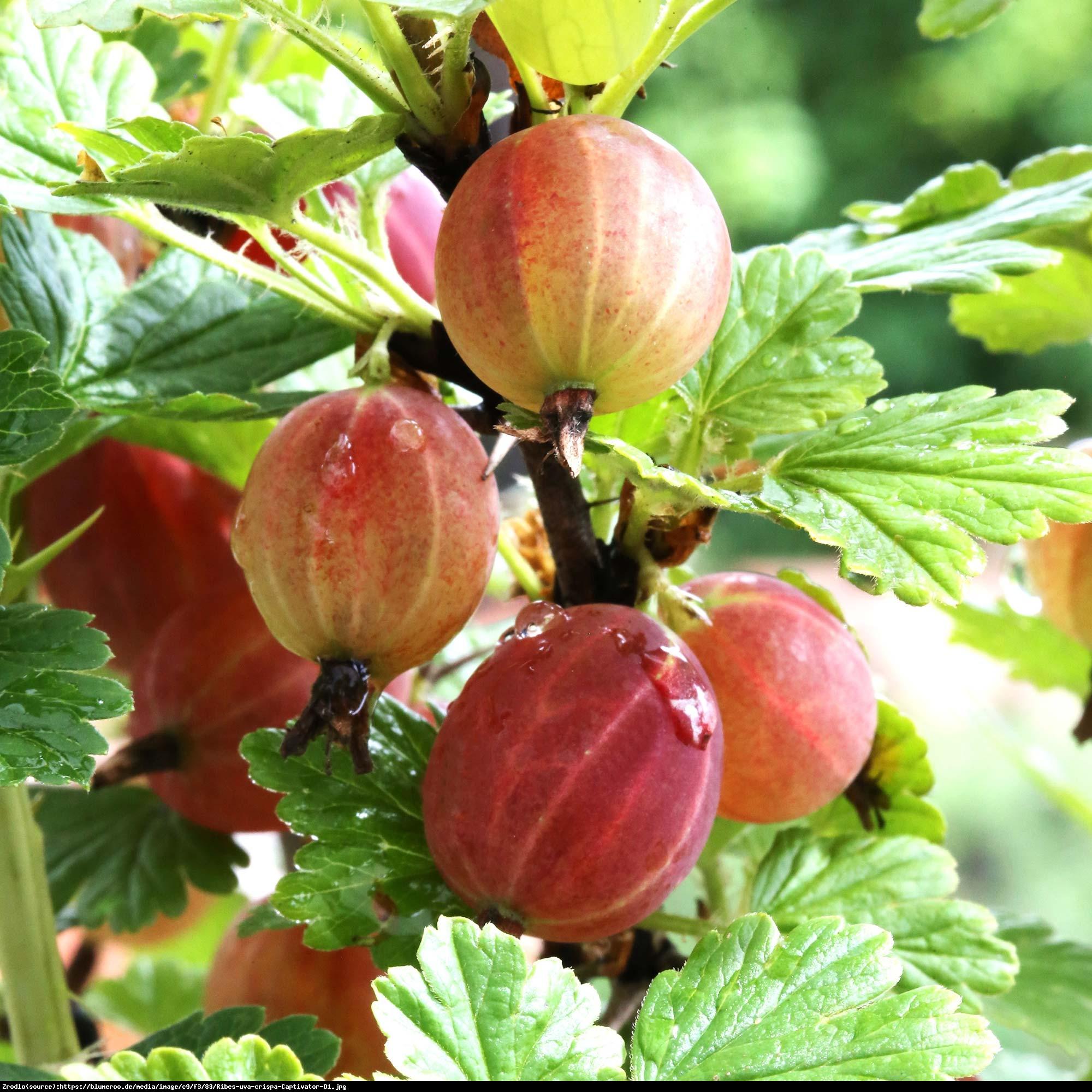Agrest Captivator NA PNIU - BEZKOLCOWY I SMACZNY - Ribes uva-crispa Captivator