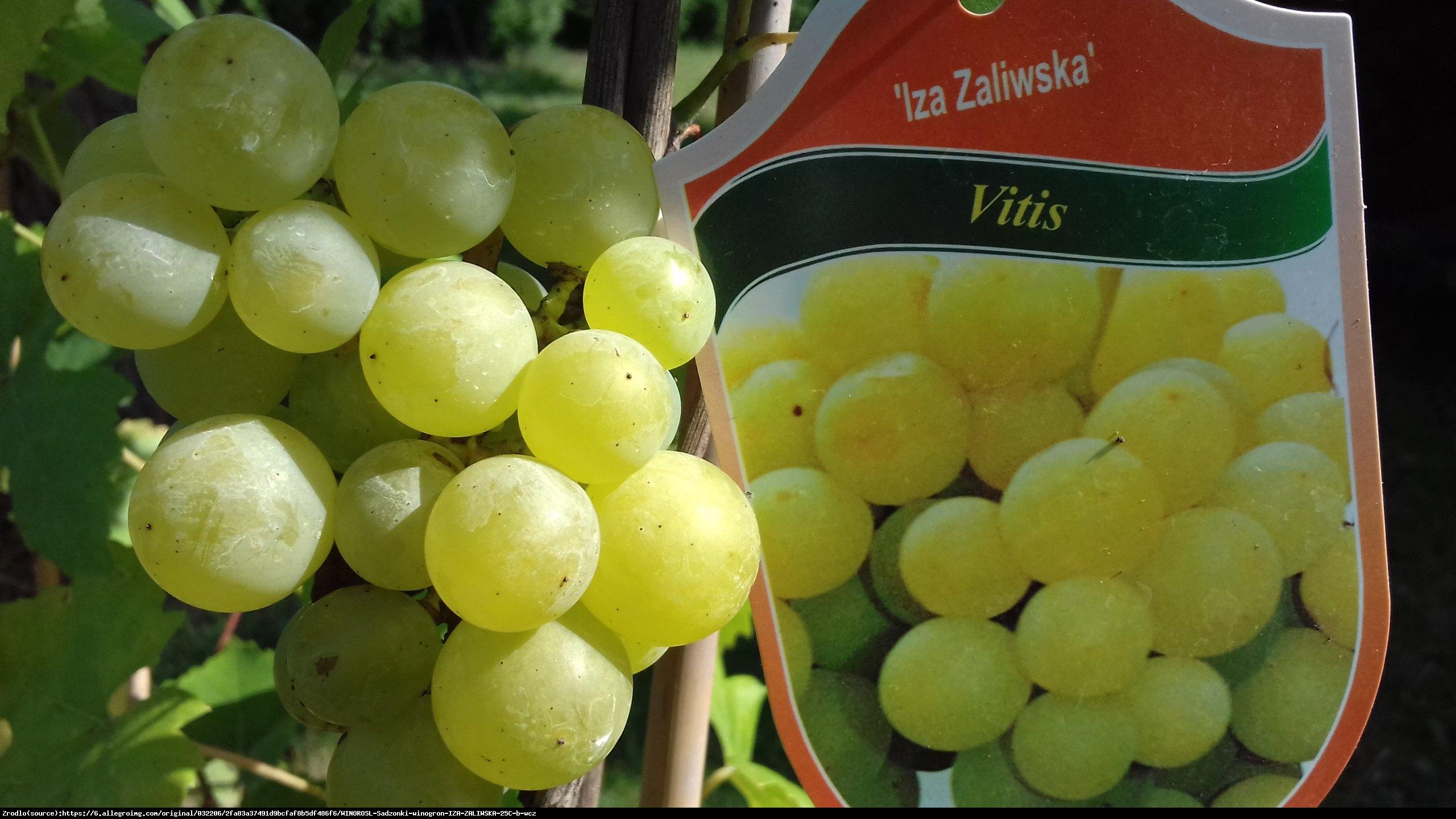 Winorośl Iza Zaliwska - Vitis