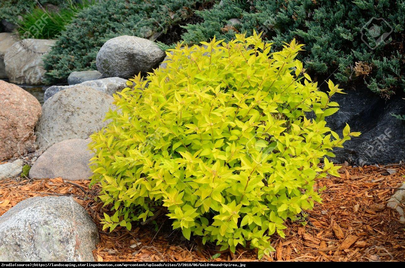 Tawuła japońska Goldmound - Spiraea japonica  Goldmound