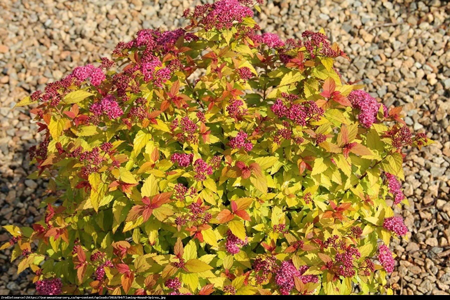 Tawuła japońska  Goldflame  - Spiraea japonica  Goldflame