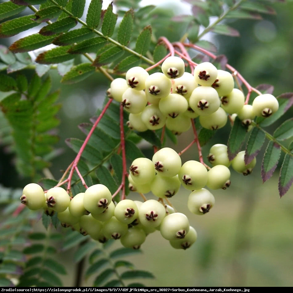 Jarzębina biała - Sorbus koehneana